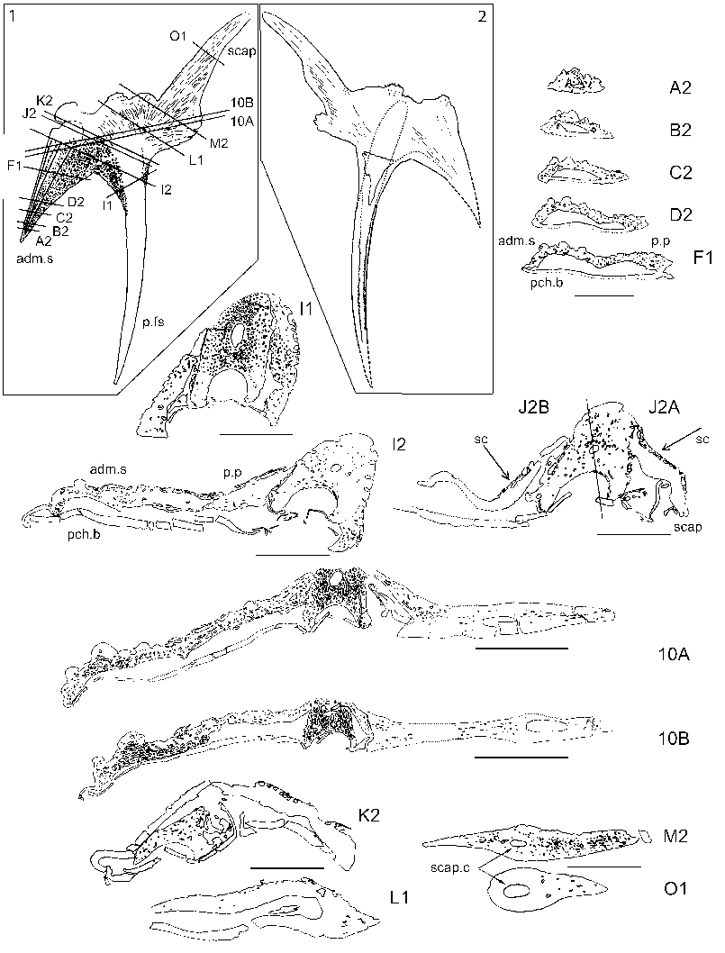 805x1058 Drawings Of Serial Sections Through Diplacanthus Tenuistriatus