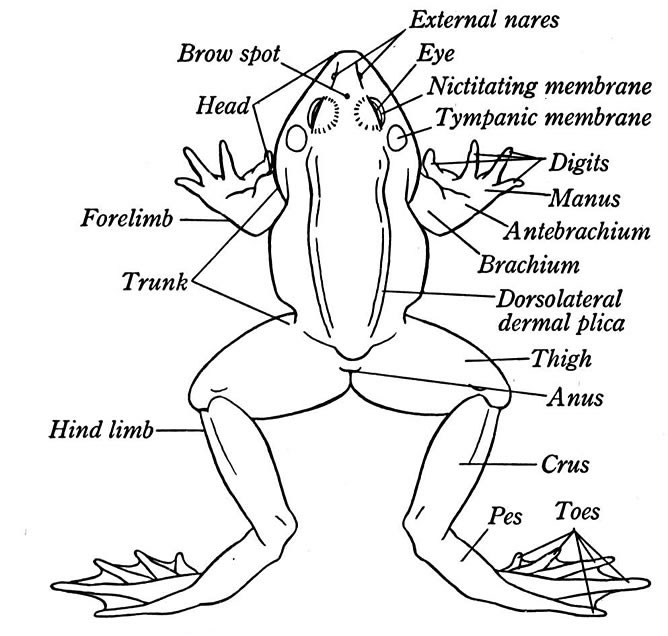 668x636 External Anatomy Of A Frog