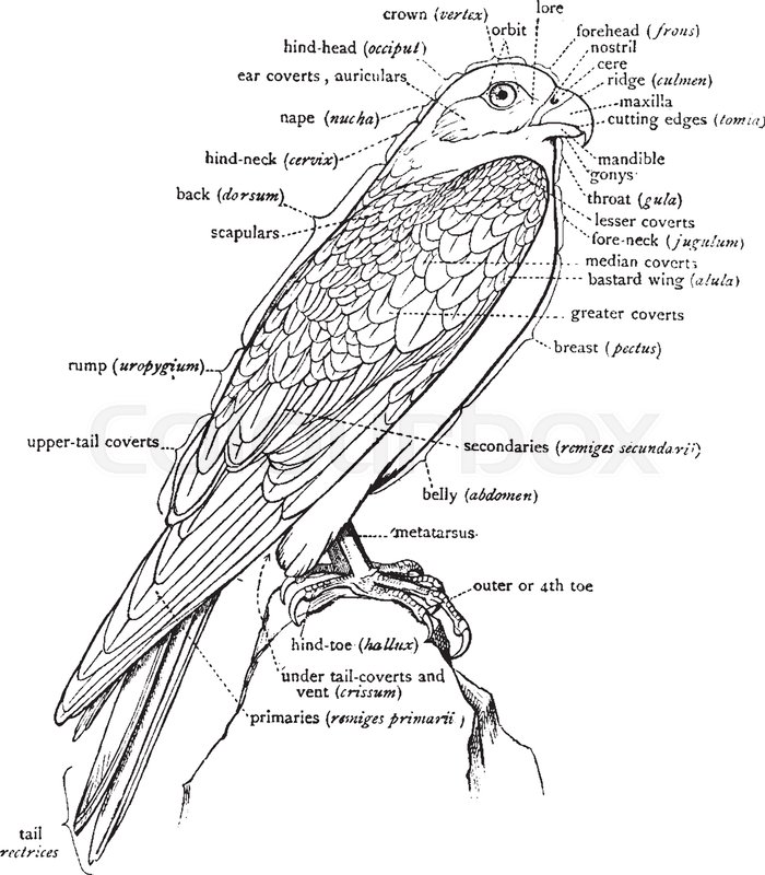 700x800 This Diagram Represents A Labeled Diagram Of A Falcon To Show