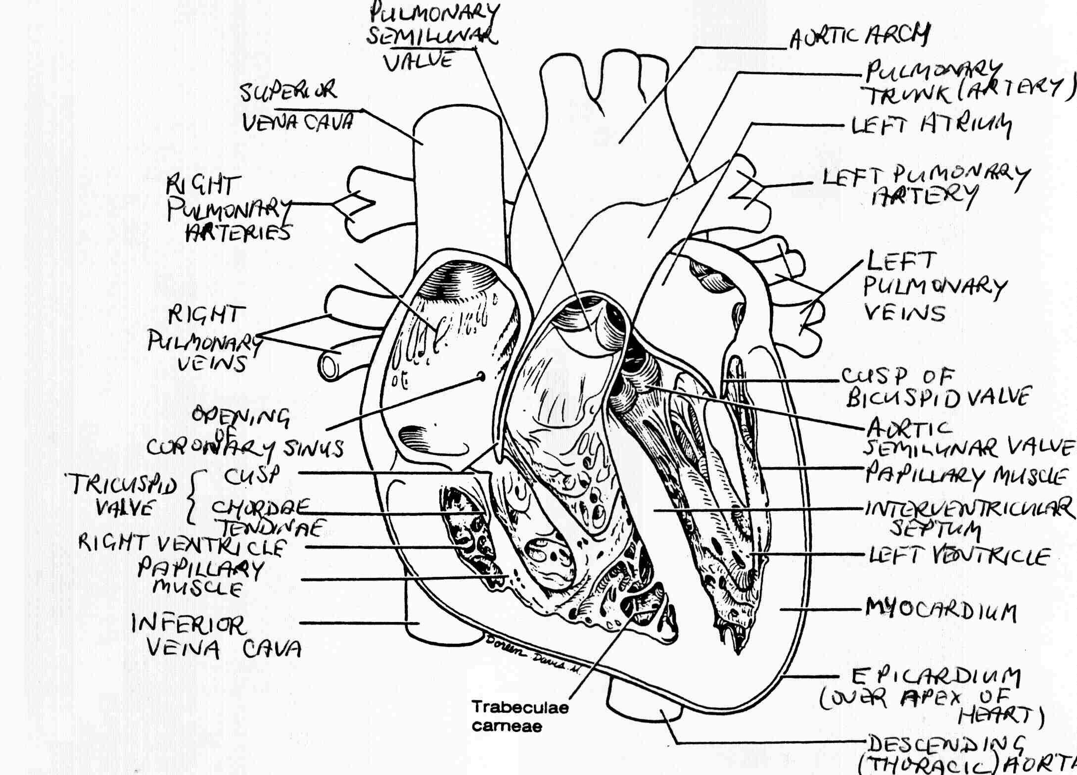 2177x1566 Draw External Structure Heart Diagram Internal Structure