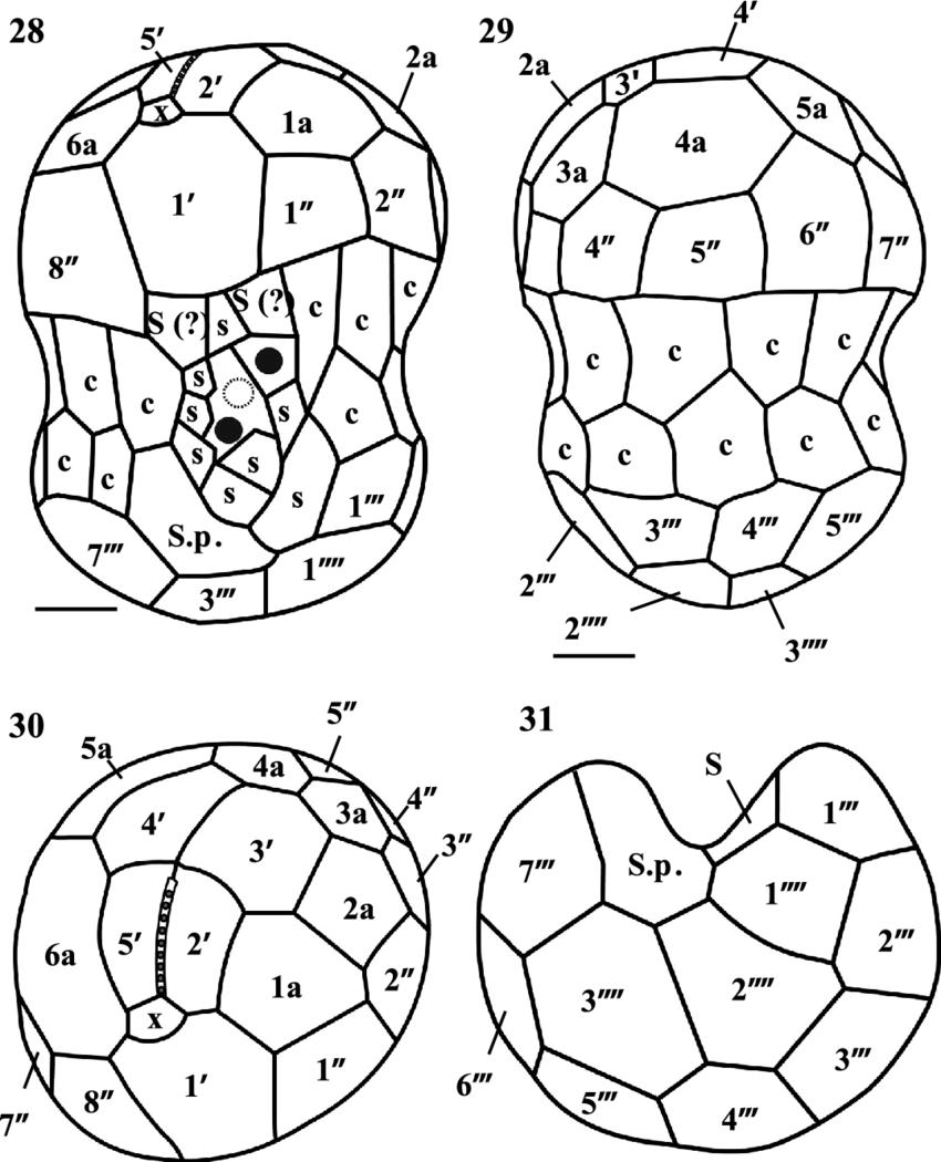 850x1050 Drawings Of Symbiodinium Tridacnidorum Motile Cells Showing