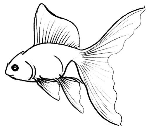 510x449 Collection Of Drawing Of A Goldfish High Quality, Free
