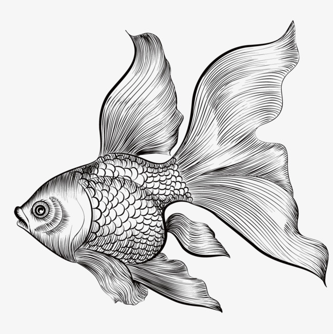 650x651 Collection Of Force On A Goldfish Vector Drawing High