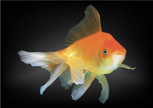 521x368 Collection Of Force On A Goldfish Vector Drawing High