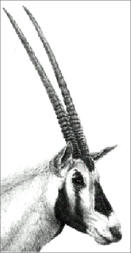 Gemsbok Drawing