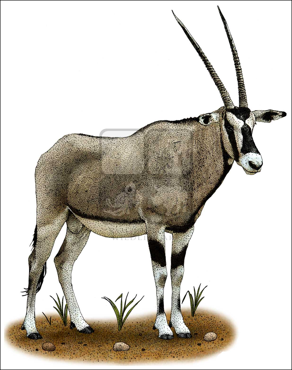 The Best Free Oryx Drawing Images  Download From 16 Free Drawings Of Oryx At Getdrawings