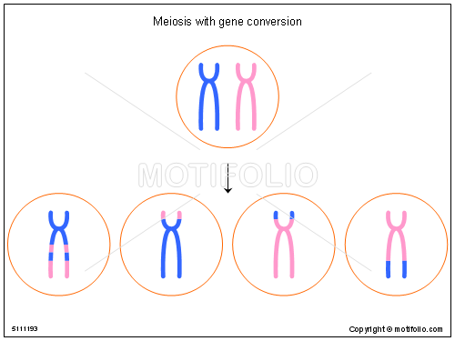 500x375 Meiosis With Gene Conversion Illustrations