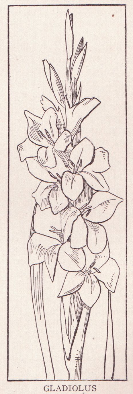 464x1374 51 Best Flowers Drawing Of Gladioli Images On August