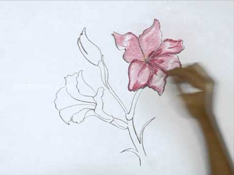 480x360 How To Draw A Gladiolus