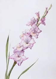 188x267 Image Result For Gladiolus Drawing Tattoos