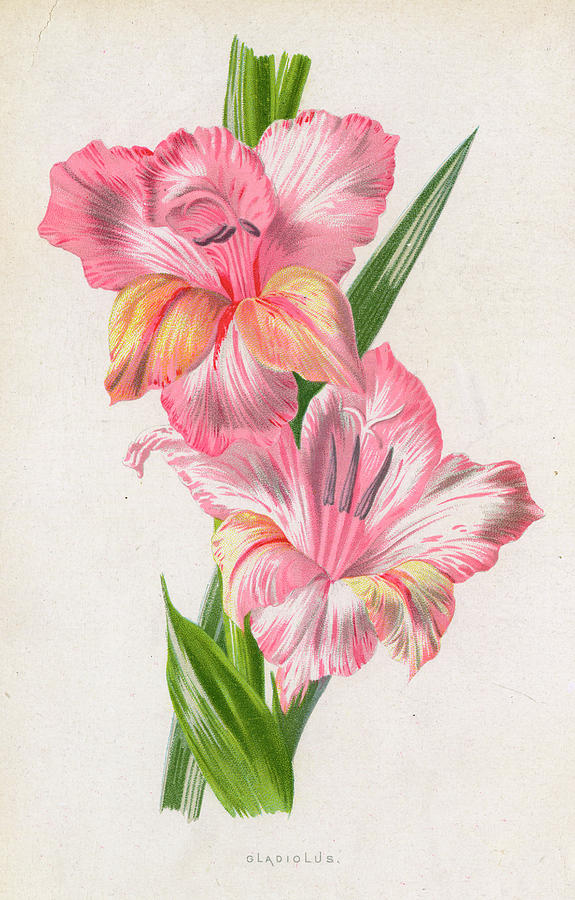 575x900 Pale Pink Gladiolus Drawing By Mary Evans Picture Library