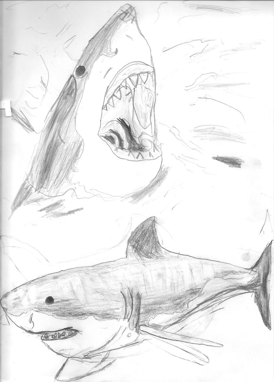 900x1253 Great White Shark Sketches By Art By Sammy
