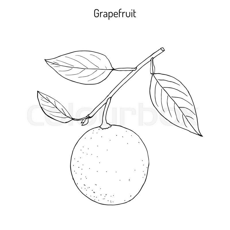 800x800 Grapefruit (Citrus Paradisi), Subtropical Citrus Tree, Hand Drawn