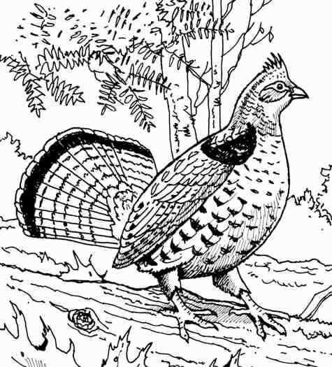 475x525 Ruffed Grouse Pg. 198 Birds Grouse