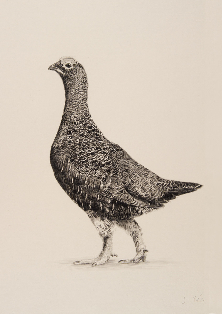 724x1024 Red Grouse Jonathan Pointer Red Grouse Drawing Jonathan
