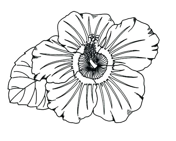 564x452 Hibiscus Coloring Page Hibiscus Flower Coloring Pages Hibiscus