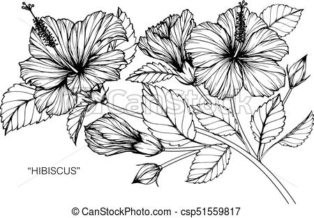 450x313 Hibiscus Flower. Drawing And Sketch With Black And White Line Art.
