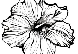 300x210 Drawings Drawing Ideas Hibiscus Flower Drawing Lovely Hibiscus