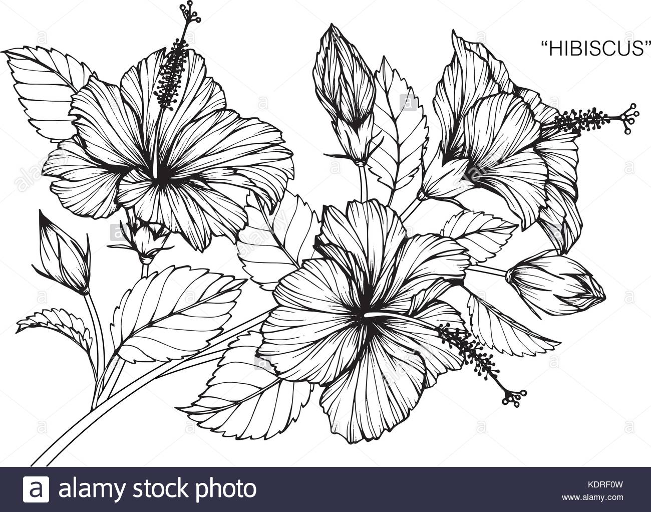 1300x1022 Hibiscus Flower Drawing Illustration. Black And White With Line