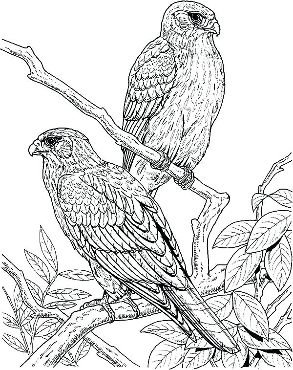 600x757 Coloring Pages Draw A Falcon Couple Of Falcon Bird Coloring Pages