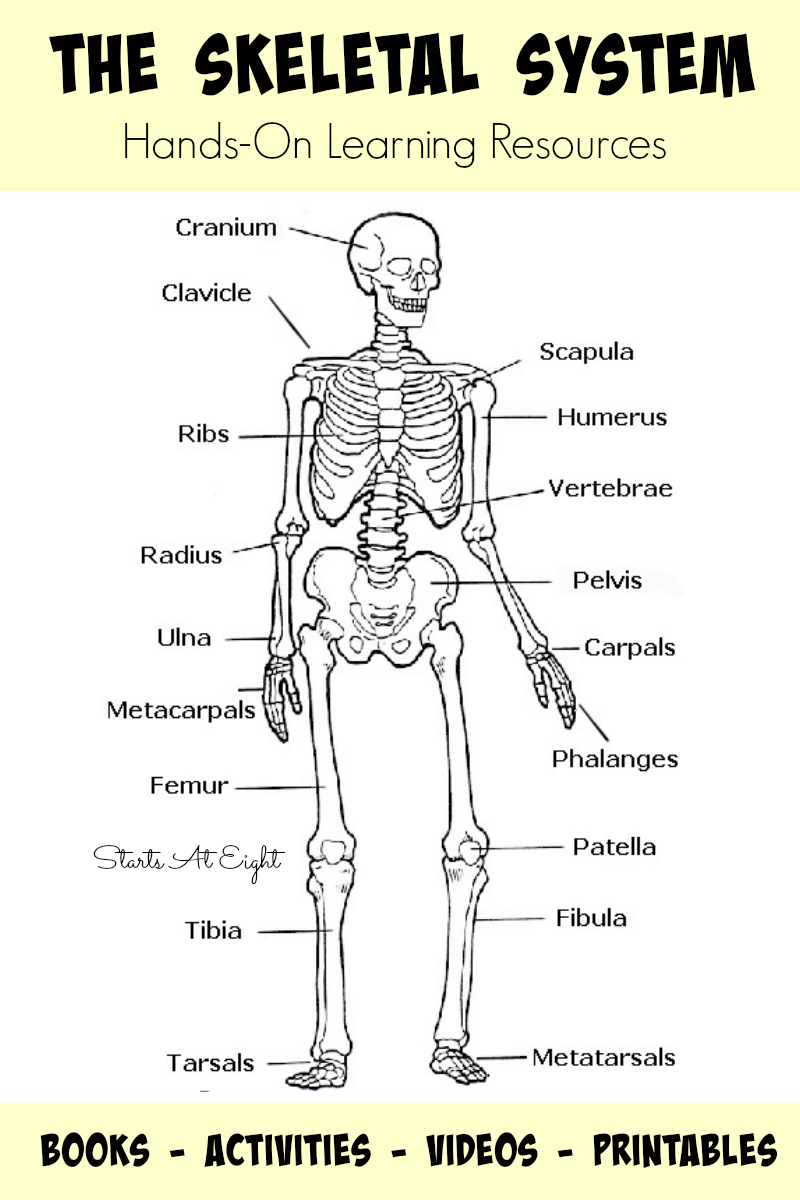 800x1200 Draw And Label The Human Skeleton System Human Skeleton Anterior