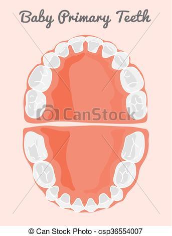 343x470 Human Teeth Infographic. Teeth Infographic. Baby Prelimanary