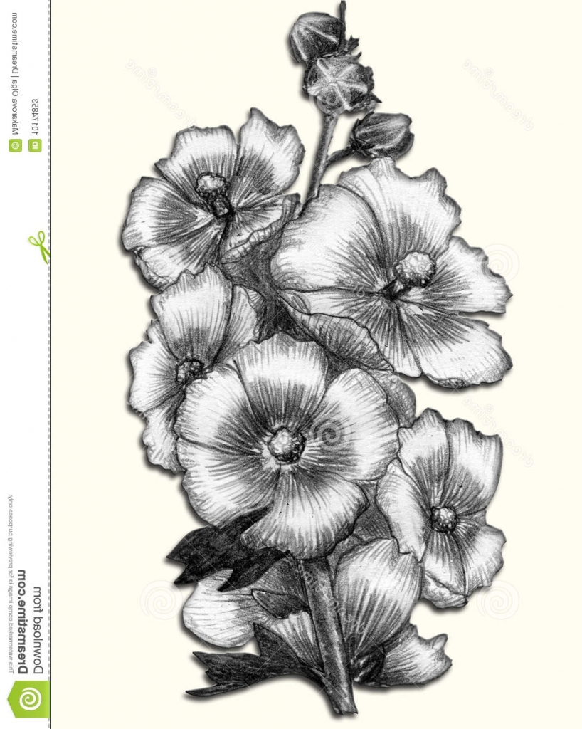 818x1024 Flower Pencil Sketch Drawing Sketch Drawing Of Flowers