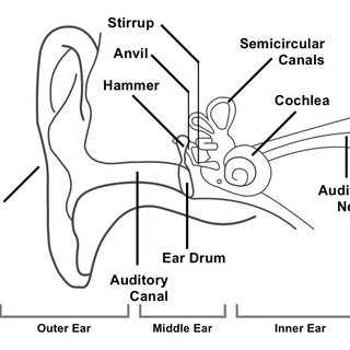 inner ear drawing at getdrawings com free for personal use inner rh getdrawings com