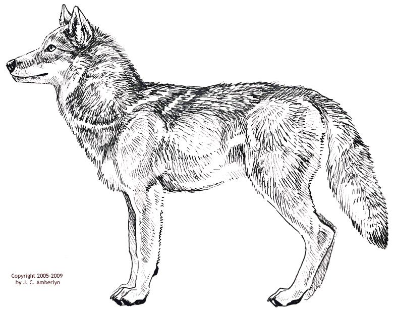 781x614 How To Draw A Gray Wolf Wolves Stained Glass Gray