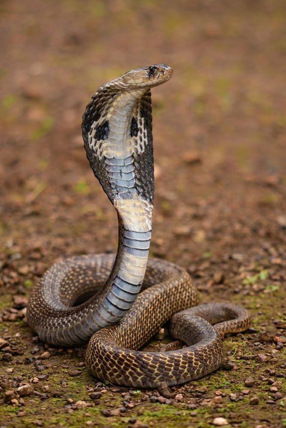 564x845 Pin By Drica On Animais Bronx Zoo, Snake And King Cobra