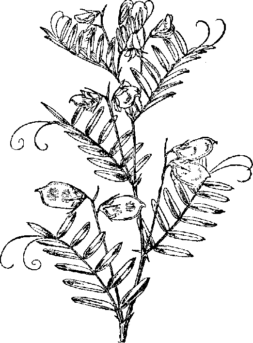 522x707 Collection Of Lentil Plant Drawing High Quality, Free