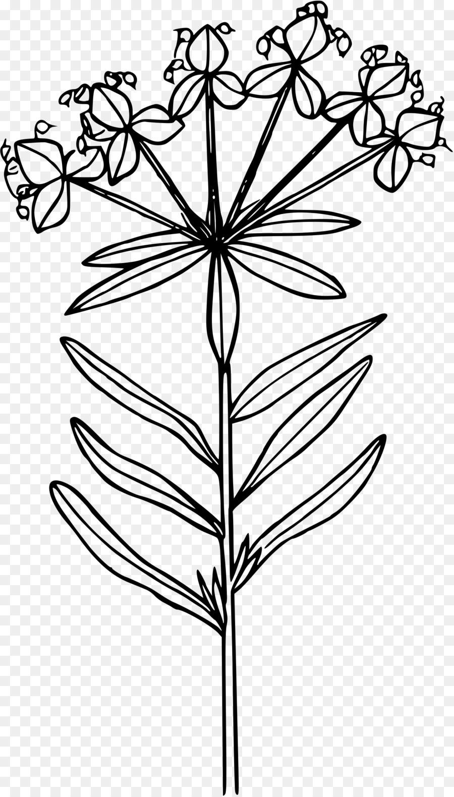 900x1580 Euphorbia Esula Line Art Drawing Clip Art