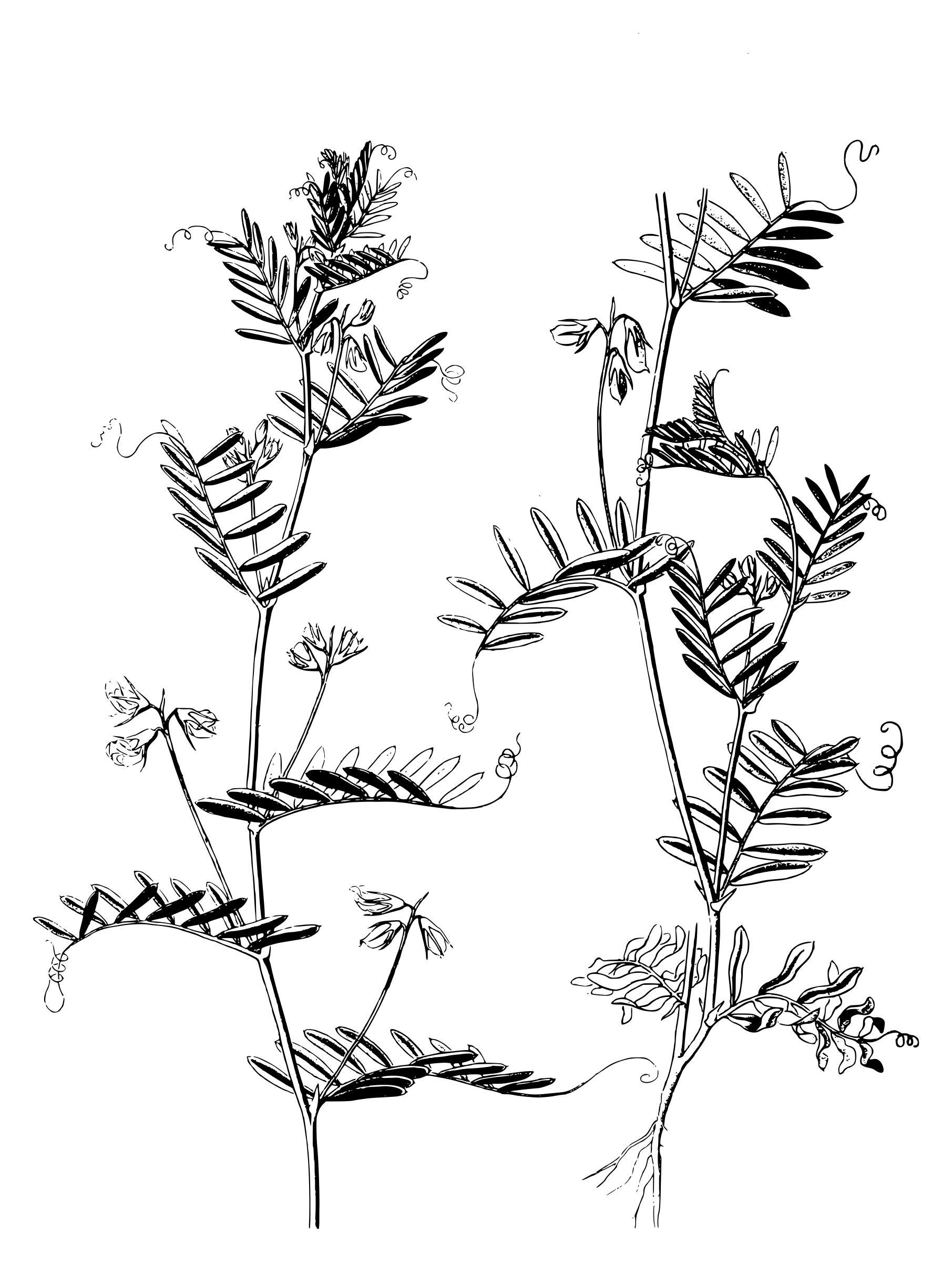 1811x2400 Lentil Plants Icons Png