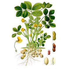 236x236 Collection Of Lentil Plant Drawing High Quality, Free