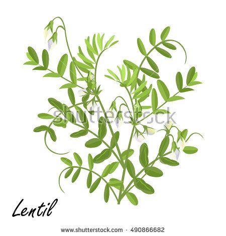 450x470 Image Result For Lentil Plant Drawing Inked
