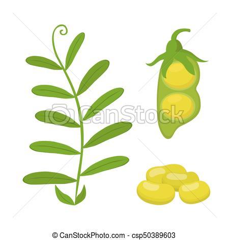 450x470 Legume Plant, Soybeans, Green Lentil Bean. Vector Vector