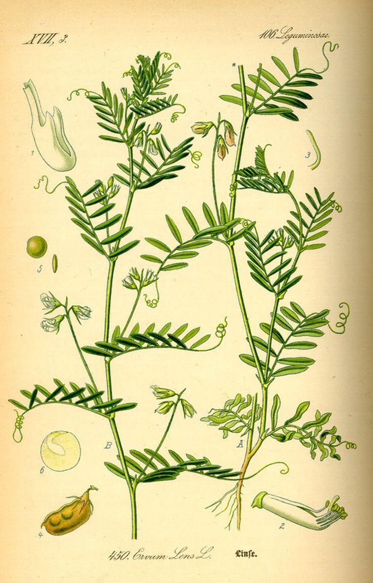 739x1155 Lentil, Plant, Pod, Lense, Flower Lentils