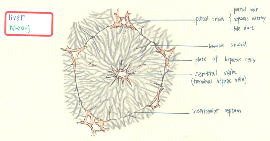 925x482 Liver, Gall Bladder And Pancreas