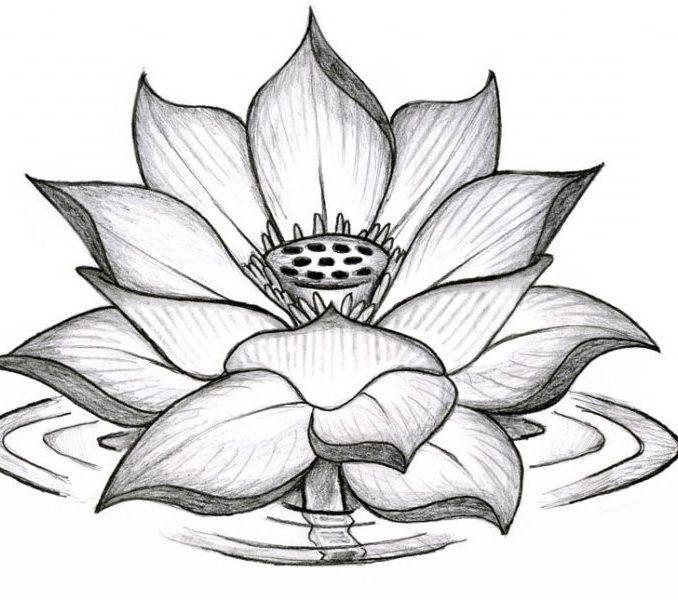 678x600 Lotus Flower Drawing Sketch Lotus Flower Sketch Lotus Flower