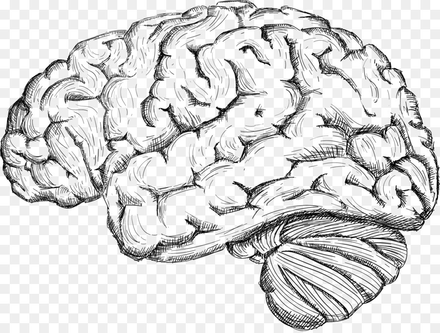 900x680 Human Brain Drawing Cerebrum