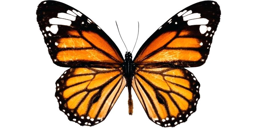 900x460 Monarch Butterfly Drawing Monarch Butterfly Drawing Black