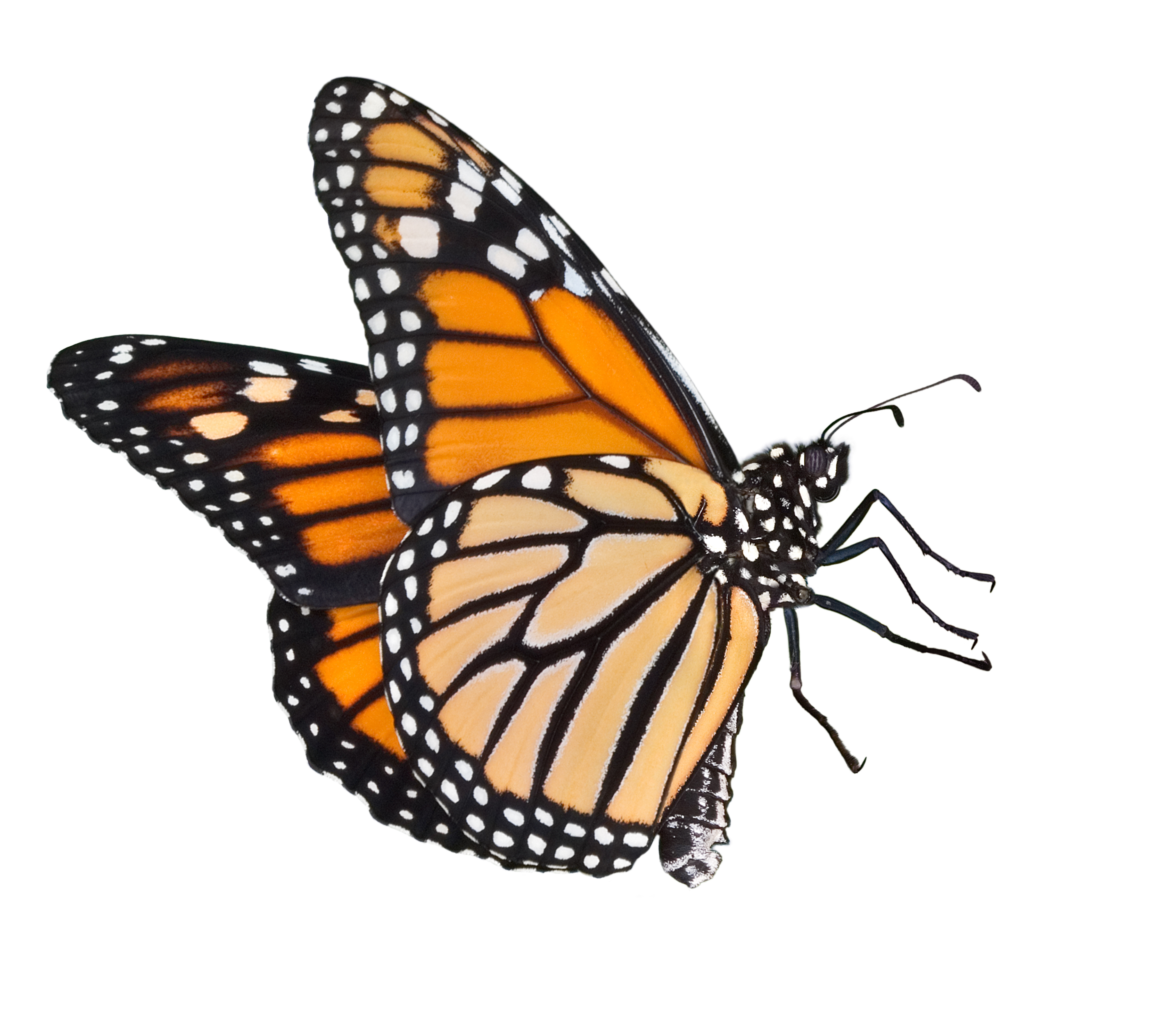 Monarch Butterfly Drawing Side At Getdrawingscom Free For