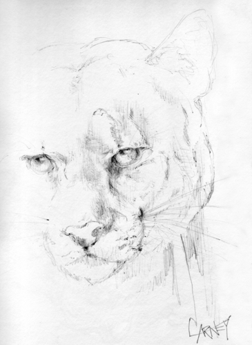 365x500 Cougar Face Drawing