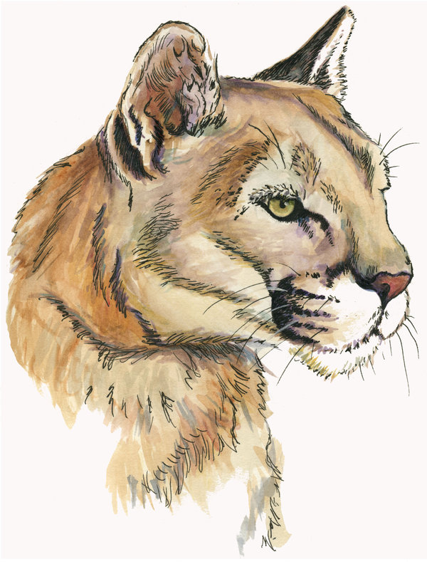 600x789 Mountain Lion Face By Mnagel