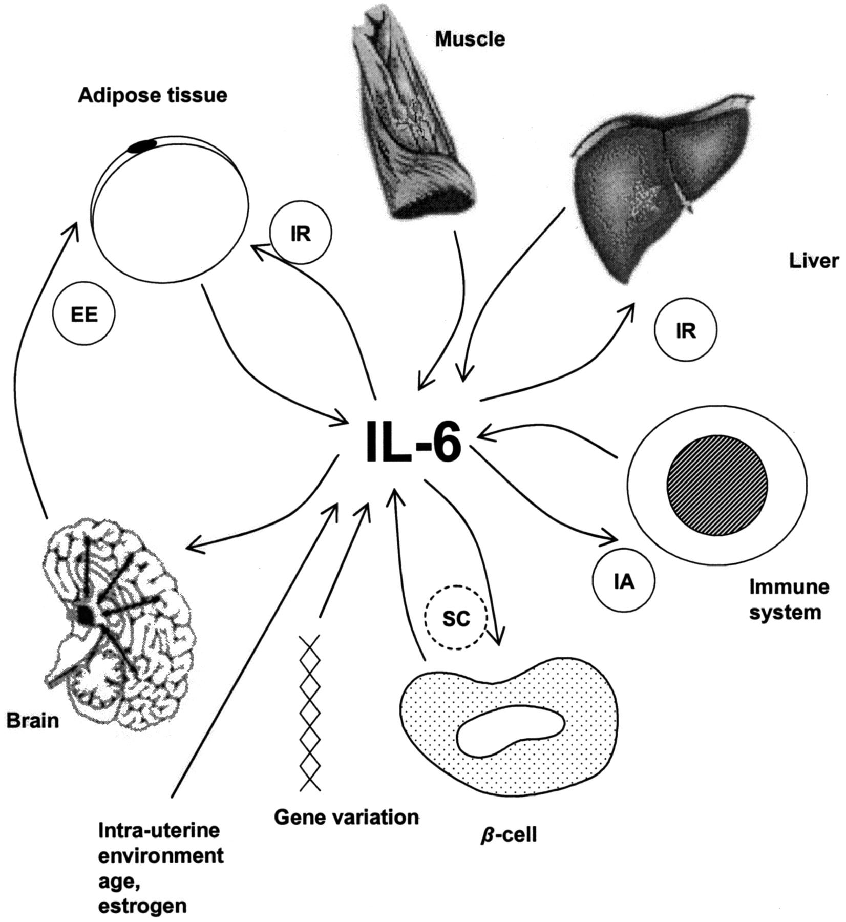 1652x1800 Interleukin 6 And Diabetes Diabetes