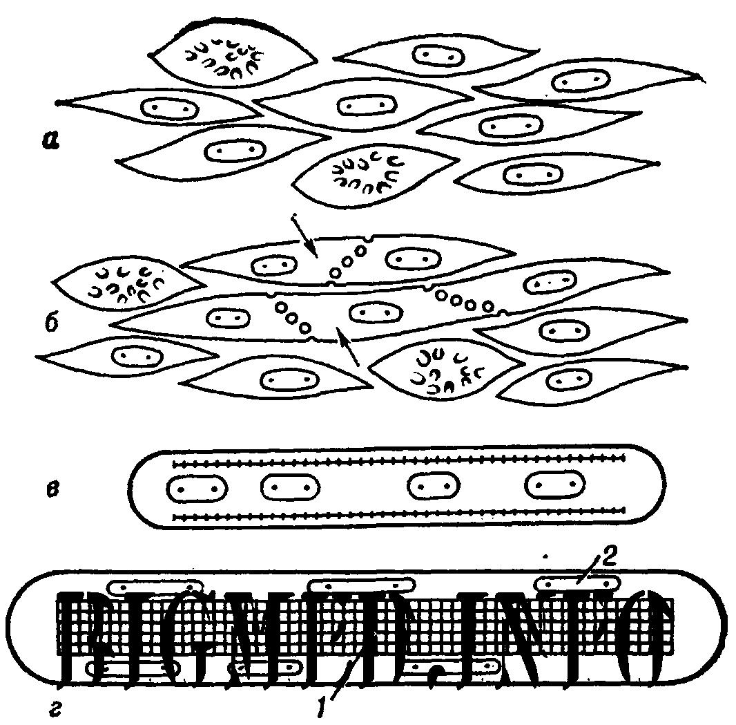1066x1049 Muscular Tissue