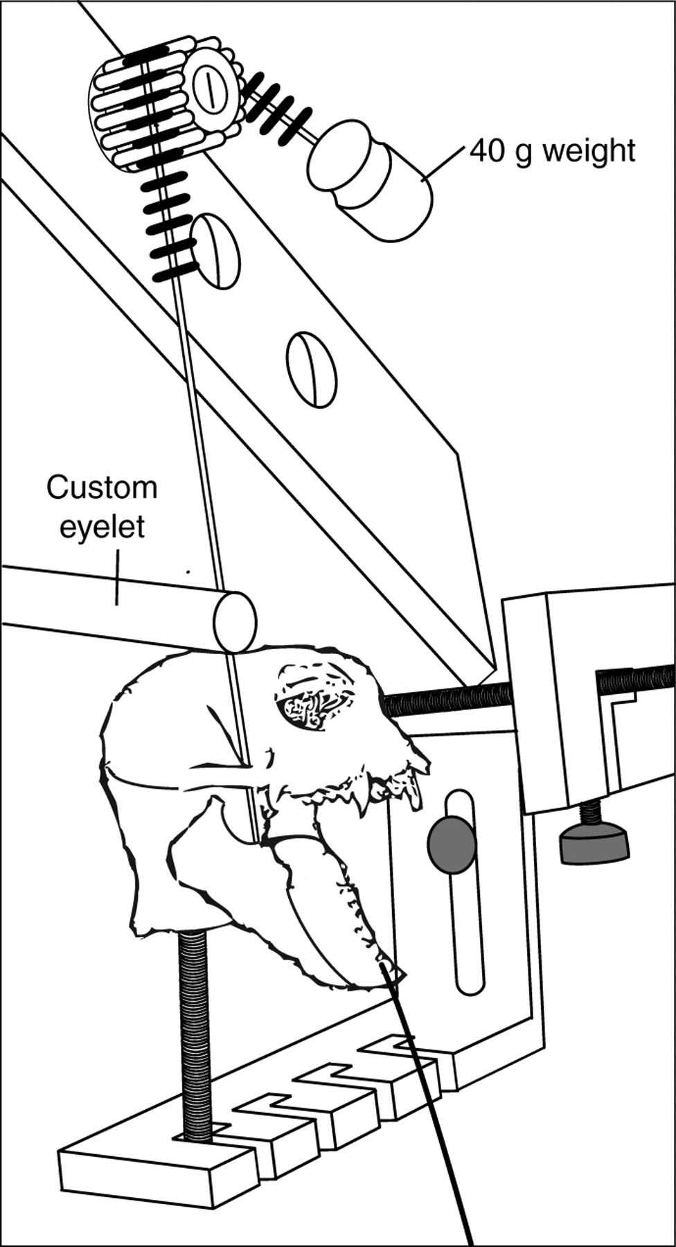 976x1800 The Morphology Of The Masticatory Apparatus Facilitates Muscle