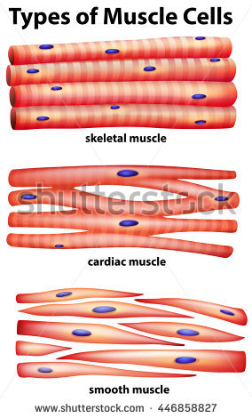 284x470 Collection Of Cardiac Muscle Tissue Drawing High Quality