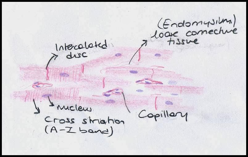 804x510 Muscle Tissue