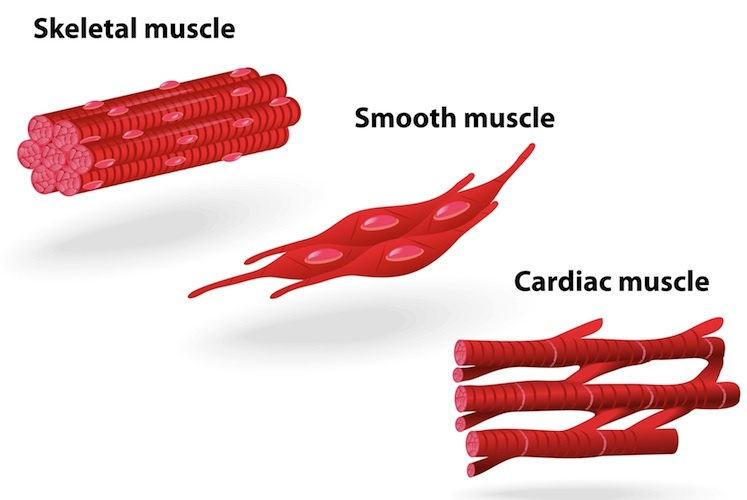 747x500 Muscle Structure